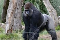 There's a gorilla on the rampage... and Wayne Rooney's not happy either, says Des Clarke