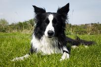 11 things only border collie owners understand