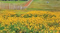 Maharashtra to get another 'plateau of flowers'