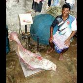 Vasai man fishes out a 30kg Ghol