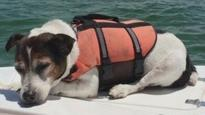 Jack Russell terrier spotted in life vest after spending several hours adrift at sea