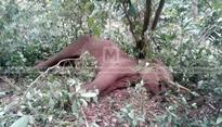 Wild tuskers clash inside forest, one seriously injured