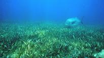 Seagrass can improve marine water quality: Study