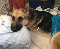 Hero dog takes 3 rattlesnake bites, saving girl and grandma from potential attack