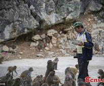 Villagers convert farmland to forest for monkeys