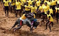PETA to hold protest at Jantar Mantar tomorrow against Centre's plan to lift Jallikattu ban