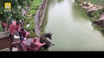 Watch: Disturbing video of a live donkey fed to tigers in Chinese zoo goes viral