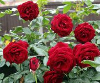 Caring And Gardening Tips For Red Rose