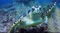 Critically endangered sea turtle swims with divers