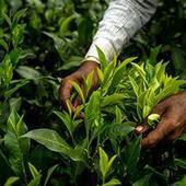 Coonoor sale: 37% tea goes unsold
