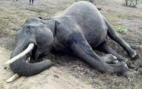 Resurgence of jumbo-sized illegal ivory trade in India has put elephants on path to extinction