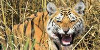 Tigers under threat in forest that inspired Jungle Book