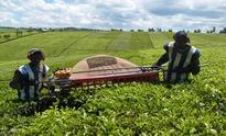 Drop in tea and coffee exports eat into Kenya's foreign earnings