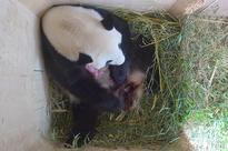 Baby panda born at Vienna zoo through rare natural conception