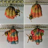 Captive Wasps Build The Most Spectacular Rainbow Nests From The Coloured Paper They Are Given