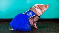 Meet LiLou, San Francisco airport's first therapy pig for stressed fliers