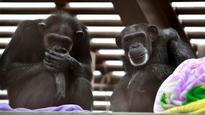 Sanctuaries across US prepare for influx of lab chimpanzees