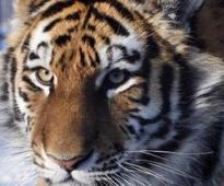 Pench tiger toll touches nine, another dead