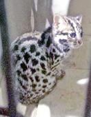 Leopard cat cub rescued