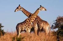 Wild giraffes heading for silent extinction, warns Attenborough