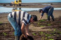 Chile's agar-agar algae is under threat