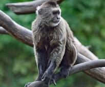 Israeli zoo goes bananas: Monkey escapes Ramat Gan Safari