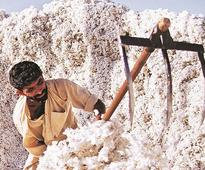 Pest attack lowers cotton yield in Maharashtra