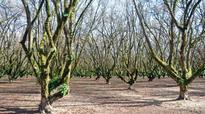 Willamette Valley Seeing A Boom In Hazelnut Orchards