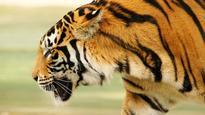 IRCTC to launch Tiger Express for Bandhavgarhm, Kanha parks