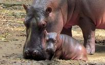 Vandalur Zoo Rings in New Year With Baby Hippo