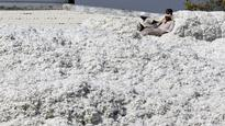 Govt mulls Rs 160/quintal hike in cotton MSP for 2017-18