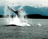 Harv and Marv's Alaska Whale Watching Tours Depart Daily This Summer with Easy Booking at New Website January 10, 2017Bookings in January for the 2017 Season Receive Chance To Win Binoculars