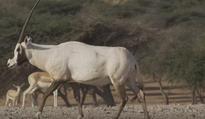 An African safari in Abu Dhabi?