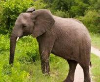 Wild elephant caught, to be tamed at Dubare