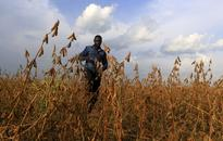 Why boosting legume production will lift the gloom for African farmers