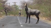 Nilgai attack: Punjab and Haryana HC grants Rs 5 lakh relief to kin of deceased