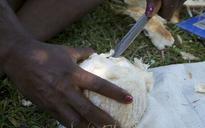 Beetles threaten Solomons' coconuts