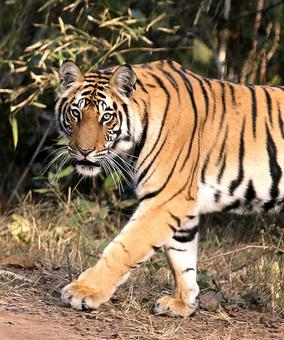 Tadoba holds its own among star tiger reserves