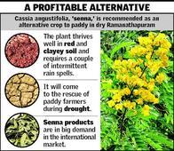 Senna, an apt alternative for arid areas