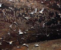 Brazilian vampire bat starting to consume human blood