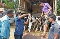 Police, animal activists rescue calves