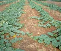Fertilising cucurbits for crop success