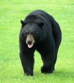 Police Shoot and Kill Black Bear in Brockville