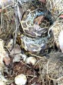 30 kg Python captured from house while hatching eggs
