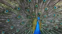 The peacock makes eye contact with its tail