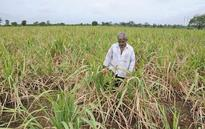 Mills have cleared 92% cane dues to farmers, says Food Ministry