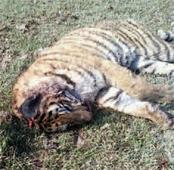 Tiger dies after a fight with wild buffalos