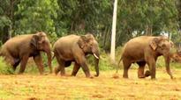 Jumbo trouble! 3 elephants raid crops in Anekal, Hoskote