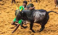 Has ever a bull been killed during jallikattu, asks Tamil film director Bharathiraja