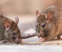 Paralytic patient nibbled by rats in government hospital in Jammu